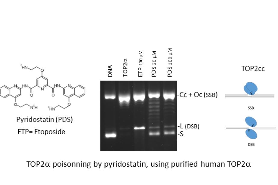 "La pyridostatine est un ""poison"" de l'ADN topoisomérase IIalpha"
