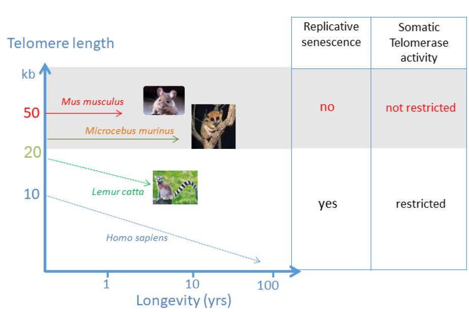 Biologie des télomères chez le microcèbe