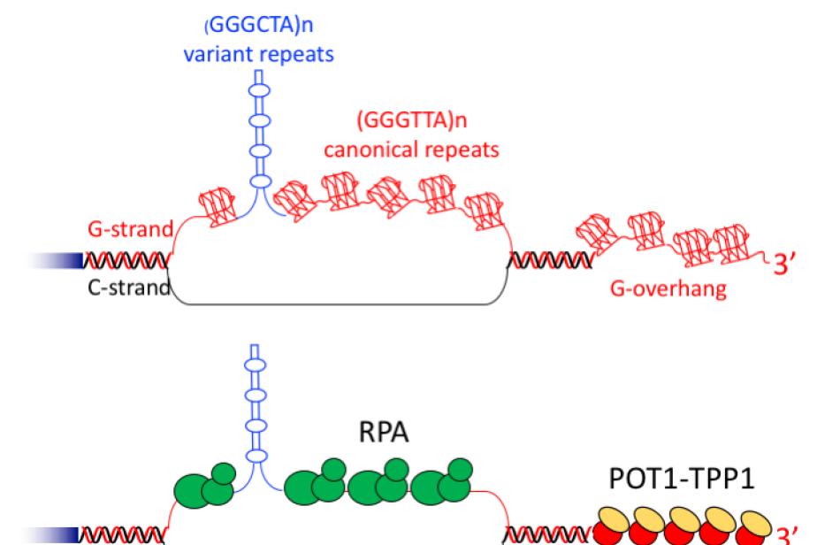 G-quadruplexes aux télomères et leur interaction avec les protéines de liaison à l'ADN simple-brin RPA et POT1-TPP1©P.Alberti