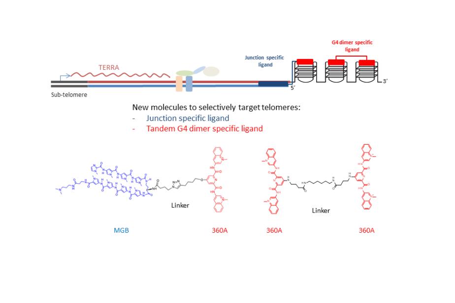 Nouvelles molécules ciblant spécifiquement les télomères