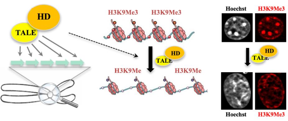 Ciblage d'une histone déméthylase vers l'hétérochromatine médié par des protéines tale dans des cellules de souris ©Judith.Lopes