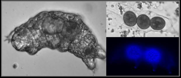 Hypsibius exemplaris tardigrade©A.De-Cian