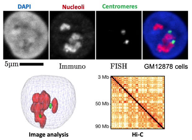 Experimental approaches for studying the 3D organization of genomes ©C.Escudé